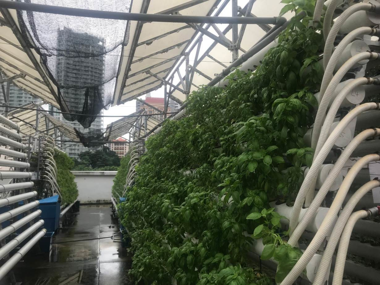 A small farm on top of a mall on Singapore's Orchard Road grows herbs and leafy greens in a high-tech urban farming model that could improve the city's food security. Photo taken 13 November 2018.