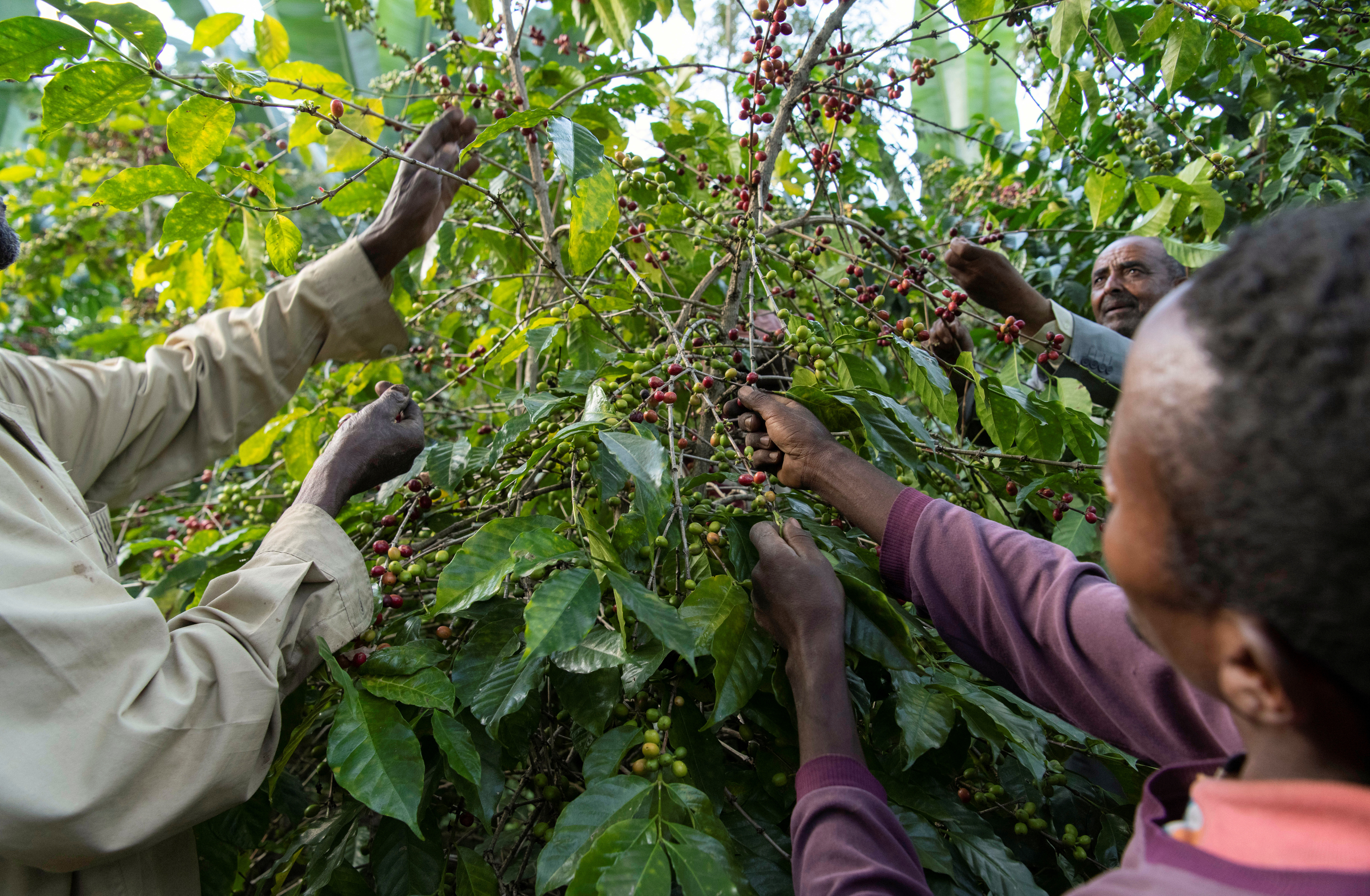 Farmers pick red coffee berries at Yosef Lema's farm at Shebedino district in Sidama, Ethiopia November 29, 2018.