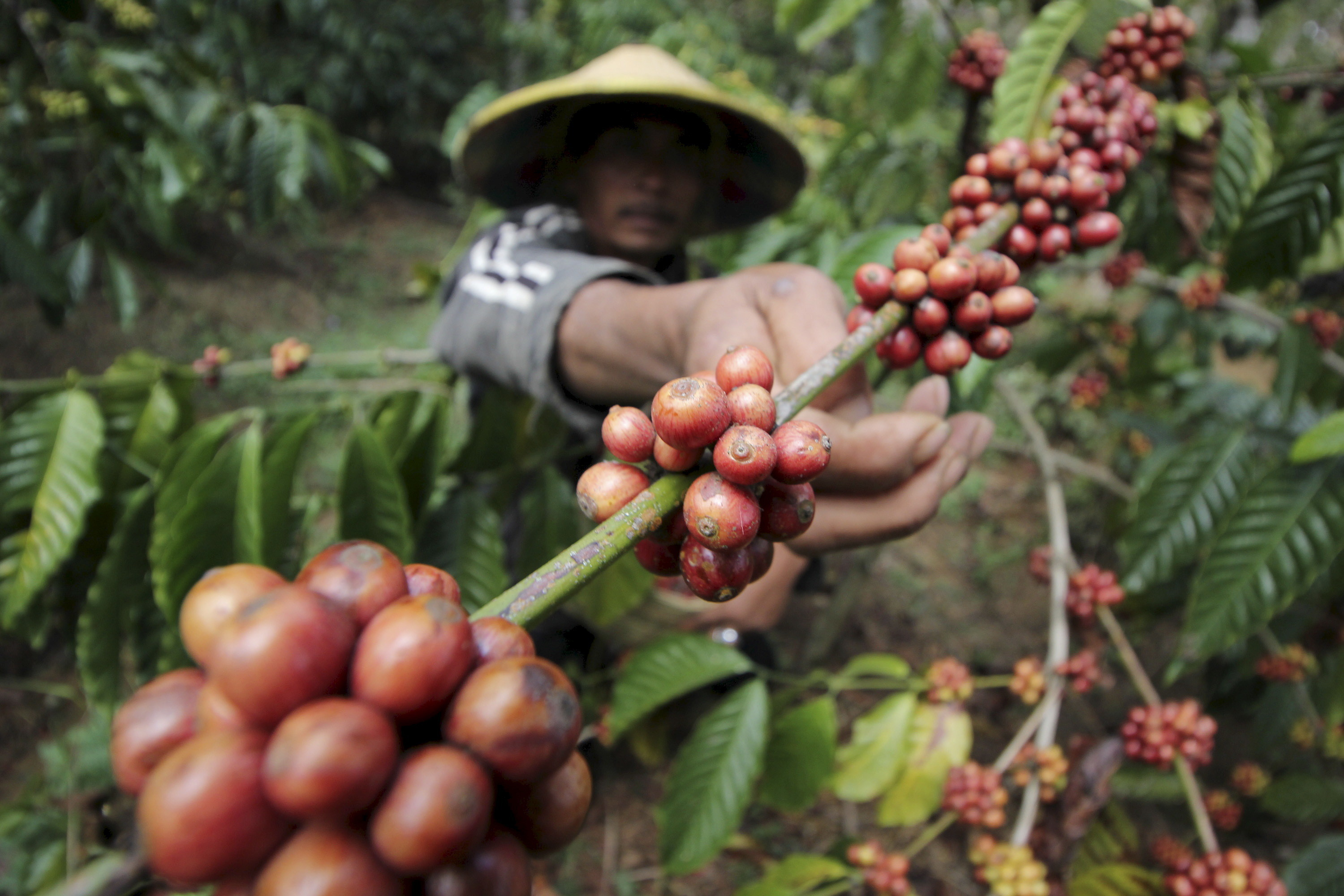 A farmer harvests robusta coffee in East Java, Indonesia.