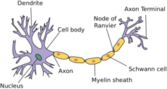 Structure of a neuron.