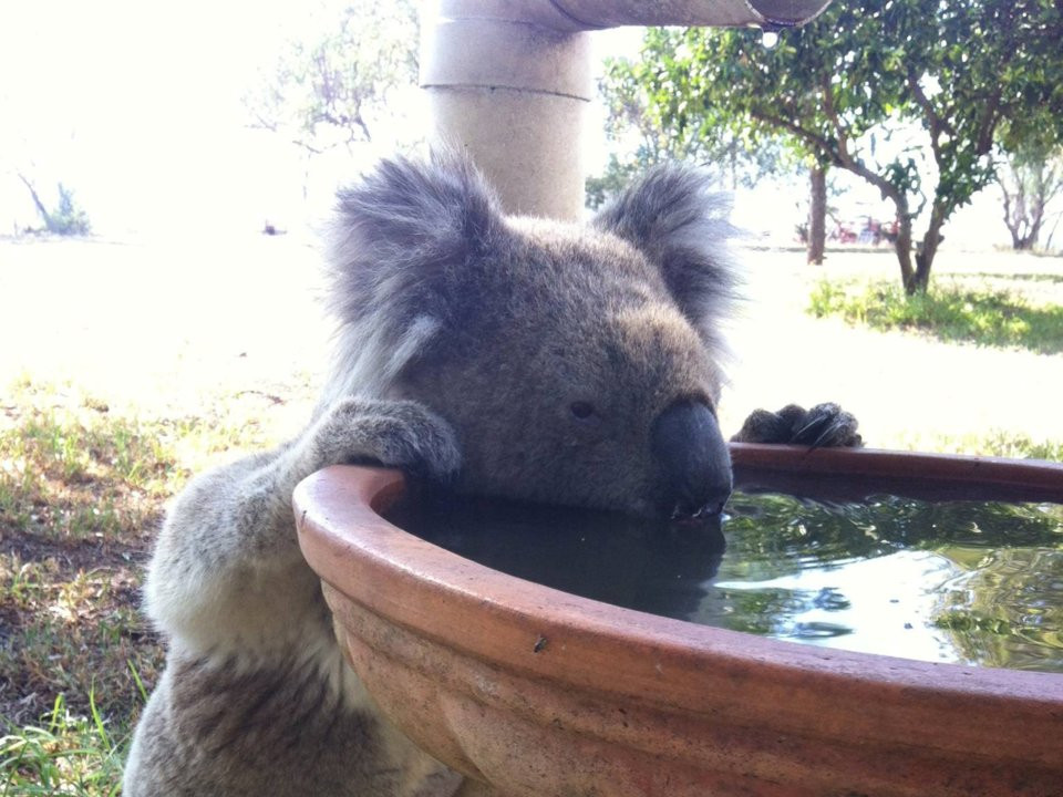 Water stations are a welcome sight for thirsty koalas in Australia.