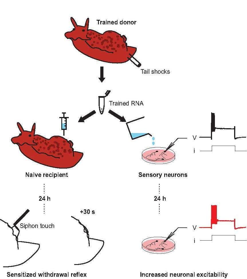Pour transférer la mémoire d'un escargot de mer (trained donor) à un autre escargot de mer (naive recipient), des chercheurs ont extrait son ARN (trained ARN) puis l'ont injecté dans l'autre escargot. De même, ils ont mis cet ARN en présence de neurones sensoriels (sensory neurons). Au bout de 24 heures, les escargots présentaient un réflexe défensif accru (sensitized withdrawal reflex) à un stimulus tactile (siphon touch) et les neurones sensoriels étaient devenus particulièrement sensibles (increased neuronal excitability).