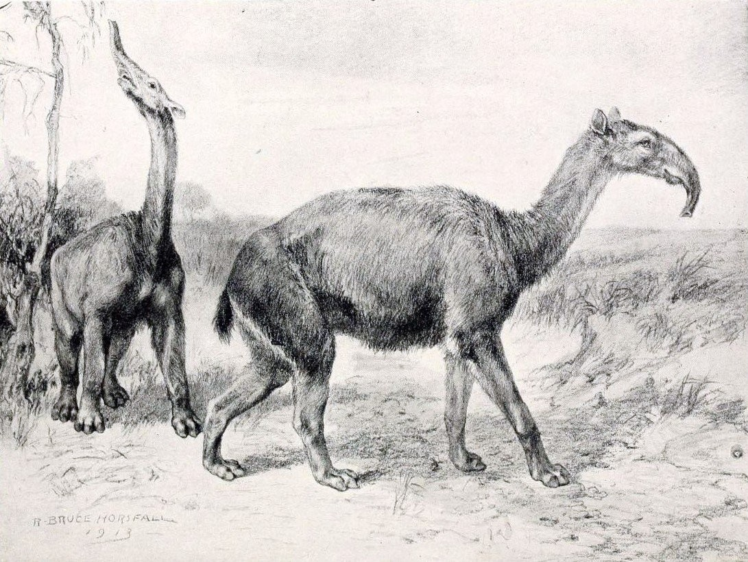 Litopterns, like this one discovered by Charles Darwin, were a strange-looking group of prehistoric South American mammals that were not closely related to any species alive today. When they went extinct at the end of the Ice Age, the mammal Tree of Life lost one of its deepest branches.
