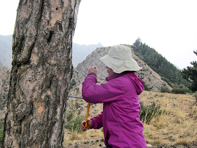 Huiming Song collects a core sample from a tree on Mt. Hasi using a hand-turned increment borer.
