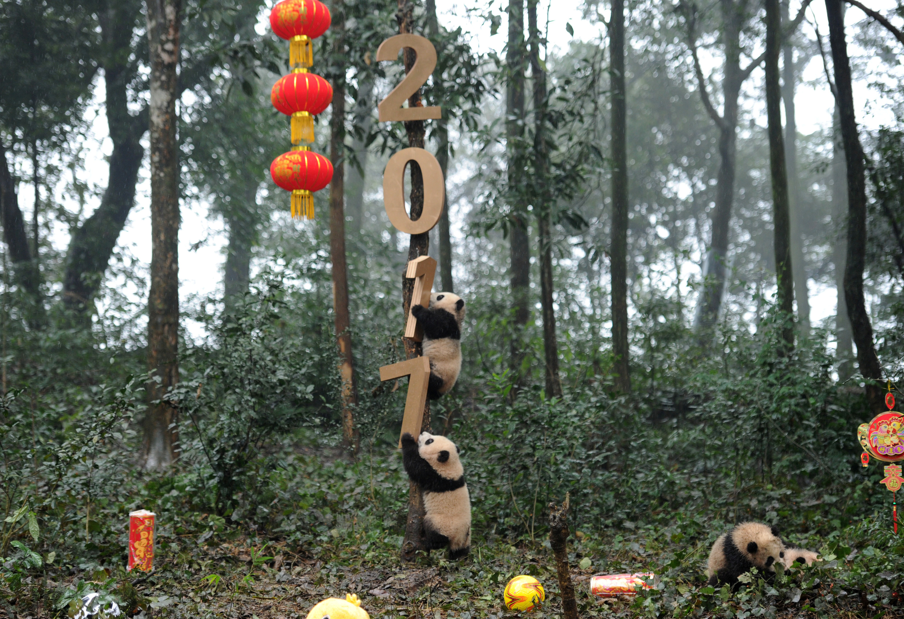 Giant panda cubs play with decorations during an event to celebrate China's Lunar New Year in a research base in Ya'an, Sichuan province, China January 11, 2017. China Daily via REUTERS ATTENTION EDITORS - THIS PICTURE WAS PROVIDED BY A THIRD PARTY. CHINA OUT. NO COMMERCIAL OR EDITORIAL SALES IN CHINA - RTX2YG71