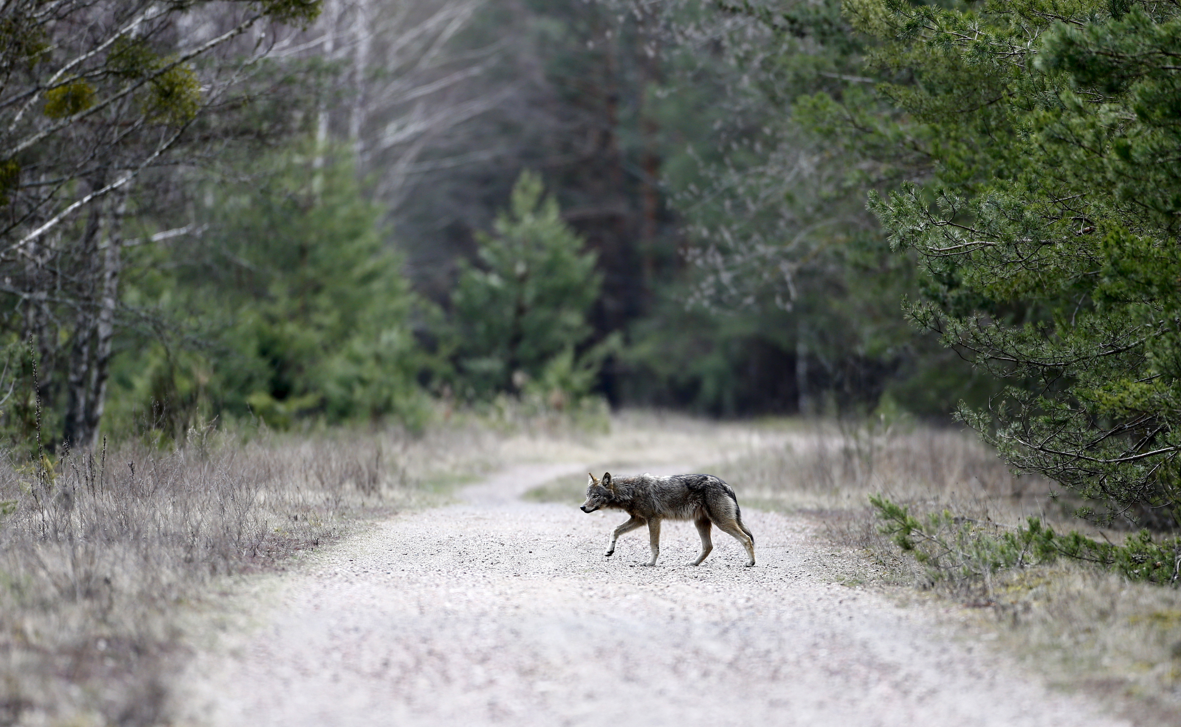 A wolf crosses a road in a forest in the 30 km (19 miles) exclusion zone around the Chernobyl nuclear reactor near the abandoned village of Dronki, Belarus, April 2, 2016. What happens to the environment when humans disappear? Thirty years after the Chernobyl nuclear disaster, booming populations of wolf, elk and other wildlife in the vast contaminated zone in Belarus and Ukraine provide a clue. On April 26, 1986, a botched test at the nuclear plant in Ukraine, then a Soviet republic, sent clouds of smouldering radioactive material across large swathes of Europe. Over 100,000 people had to abandon the area permanently, leaving native animals the sole occupants of a cross-border