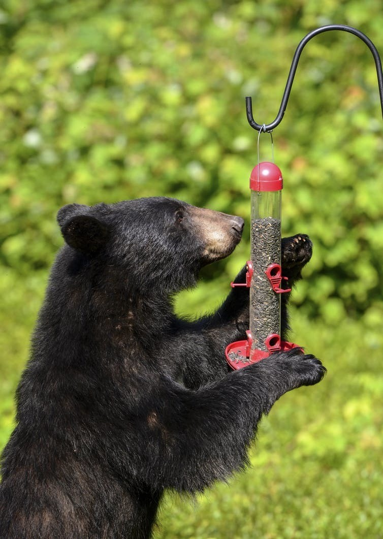 A black bear steals a snack from a bird feeder.