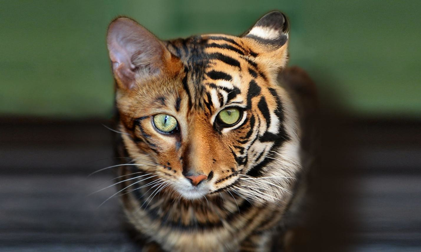 Malo the Toyger