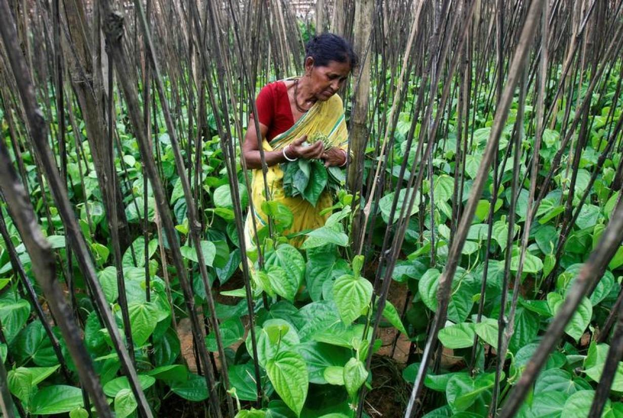 A woman plucks betel leaves at a farm on the outskirts of Agartala, India, August 6, 2018.
