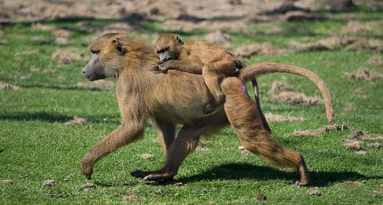 Guinea baboons like these seem to be especially sensitive to warm and arid conditions.