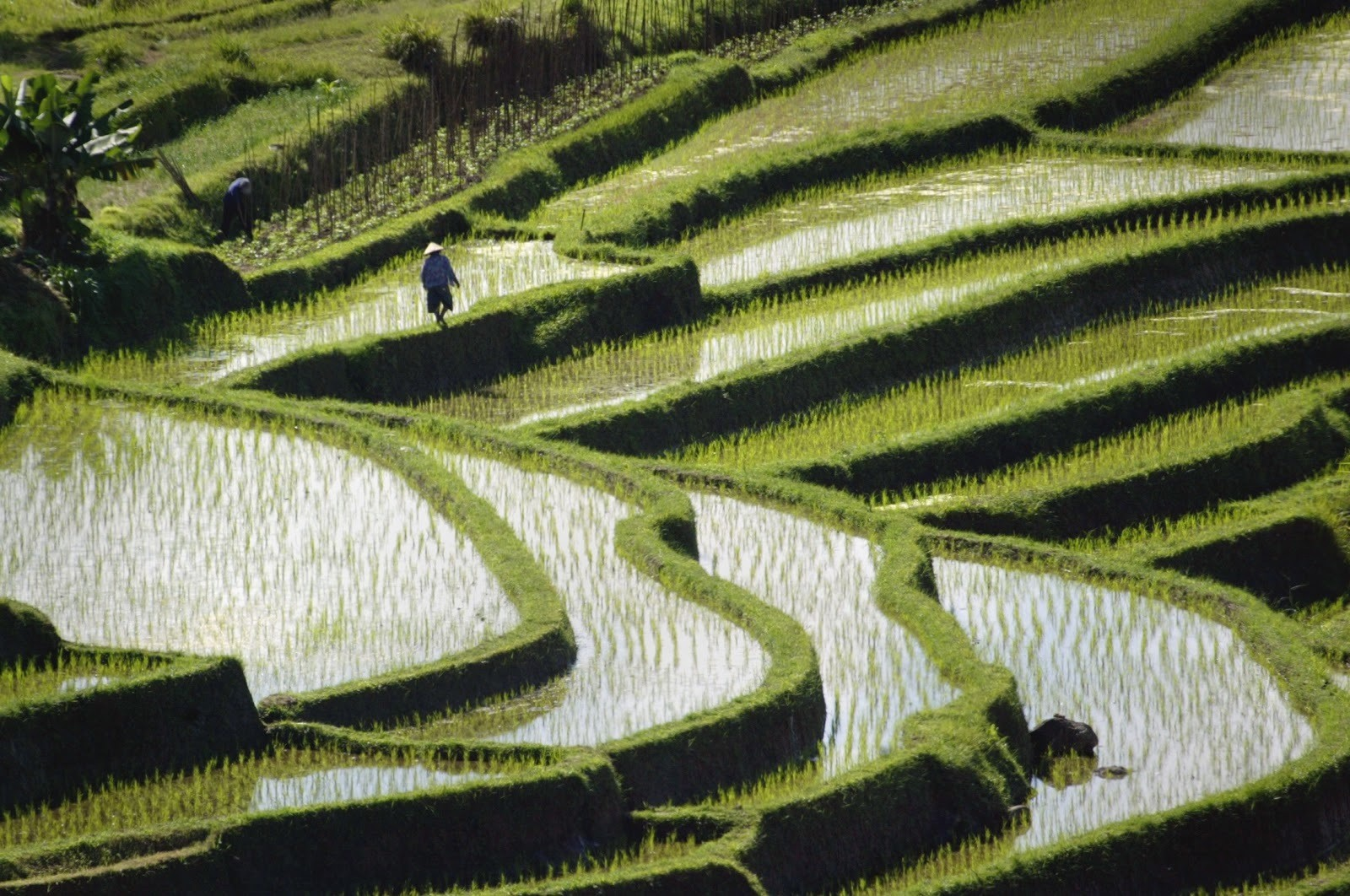 Rice is planted in graceful terraced paddies near Jatiluwih in central BaliAugust 11, 2003. Rice plays an important role in Balinese life, eaten atalmost every meal and prepared as an offering to the gods in temples acrossthe country.            PP03090006       REUTERS/Bob StrongRCS - RP4DRIFRZMAD