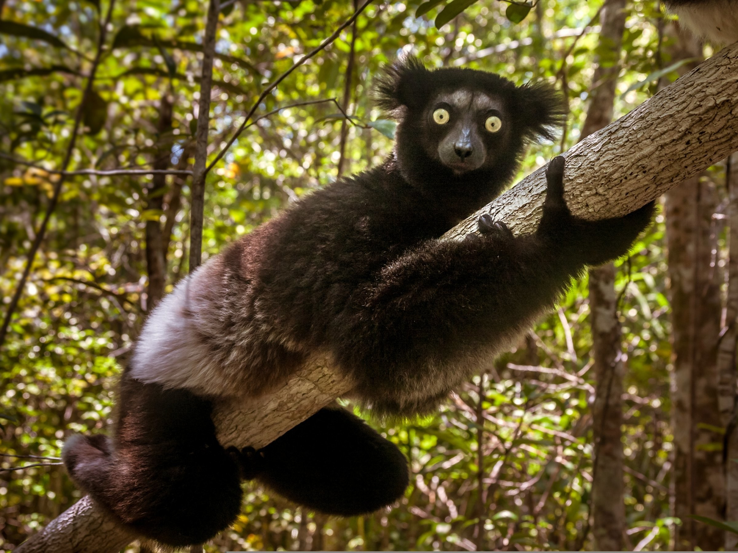 The indri of Madagascar — the largest living lemur — is critically endangered and highly evolutionarily distinct. If the indri goes extinct, we will lose 19 million years of unique evolutionary history.