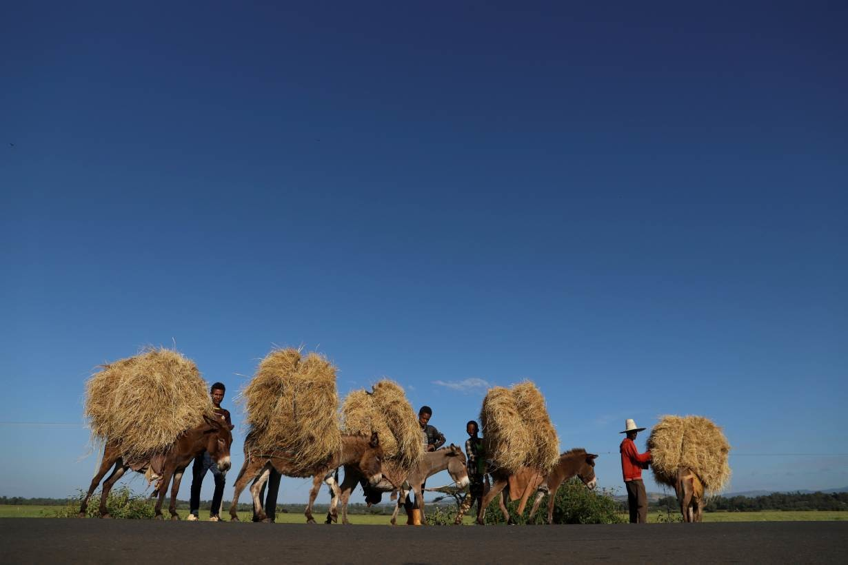 Farmers transport teff from their farm in the town of Woliso, Oromia region, Ethiopia, October 22, 2018