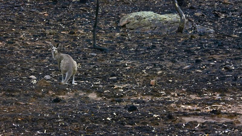 A kangaroo stands on ground blackened by a bushfire near Coonabarabran, about 350 km (217 miles) northwest of Sydney January 19, 2013.    REUTERS/Josh Smith   (AUSTRALIA - Tags: DISASTER ENVIRONMENT ANIMALS TPX IMAGES OF THE DAY) - GM1E91J1FIJ01
