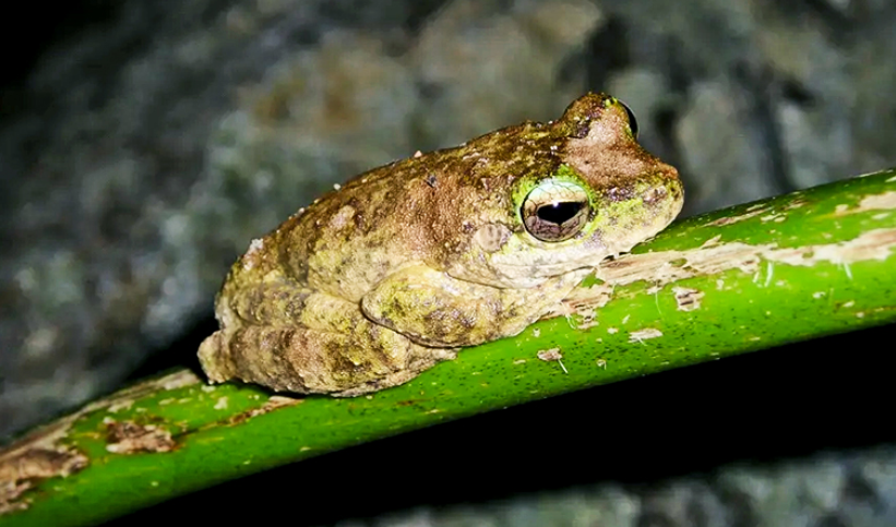 Litoria serrata (the Green-eyed Treefrog) from the Queensland rainforest has declined due to chytridiomycosis. (Picture: Lee Skerratt/U. Melbourne)