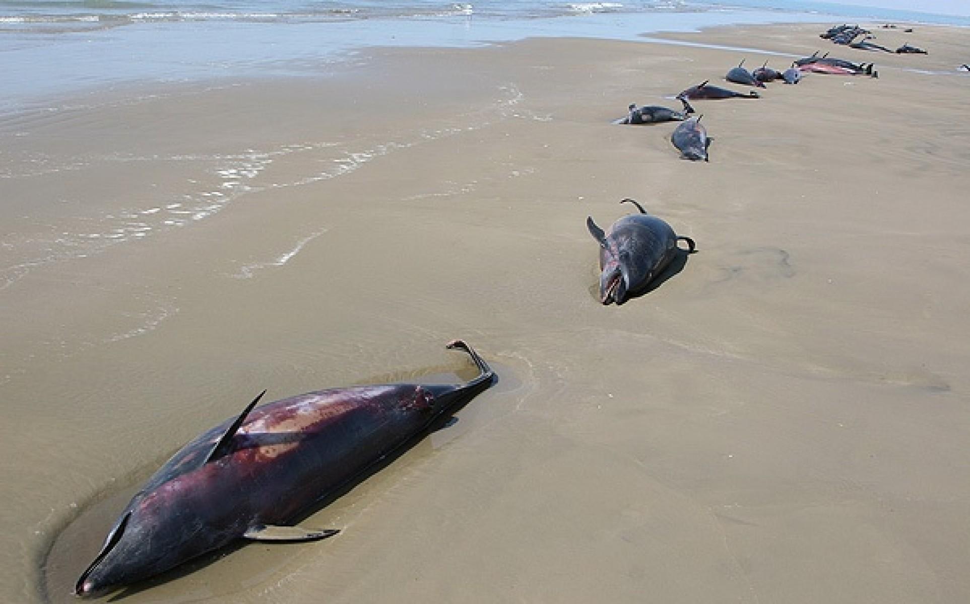 72 dauphins morts sur les rives du village de Chah-e Mobarak le 26 octobre 2007.