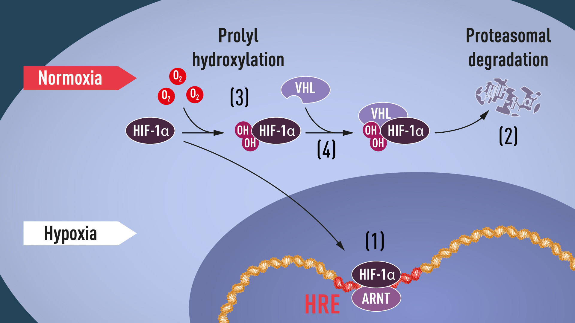 Figure 1. When oxygen levels are low (hypoxia), HIF-1α is protected from degradation and accumulates in the nucleus, where it associates with ARNT and binds to specific DNA sequences (HRE) in hypoxia-regulated genes (1). At normal oxygen levels, HIF-1α is rapidly degraded by the proteasome (2). Oxygen regulates the degradation process by the addition of hydroxyl groups (OH) to HIF-1α (3). The VHL protein can then recognize and form a complex with HIF-1α leading to its degradation in an oxygen-dependent manner (4).