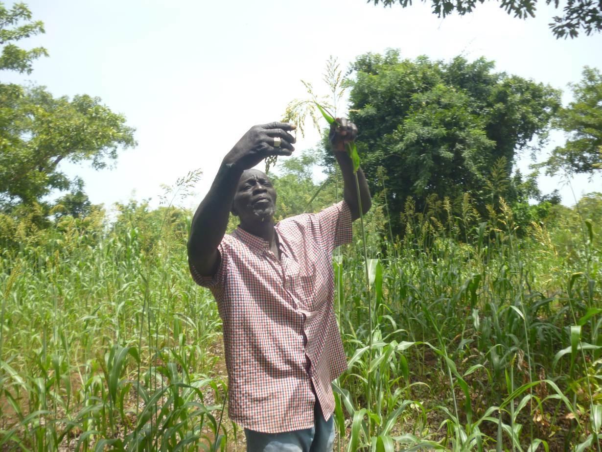 Alou Camara visits his field of anew sorghum variety Jakunbè in the village of Siby, Mali, September 15, 2018.