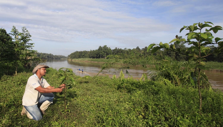 Plantación de árboles jóvenes a lo largo del río Kinabatangan en Sabah, Malasia, como parte del programa de reforestación RiLeaf de Nestlé Malasia.
