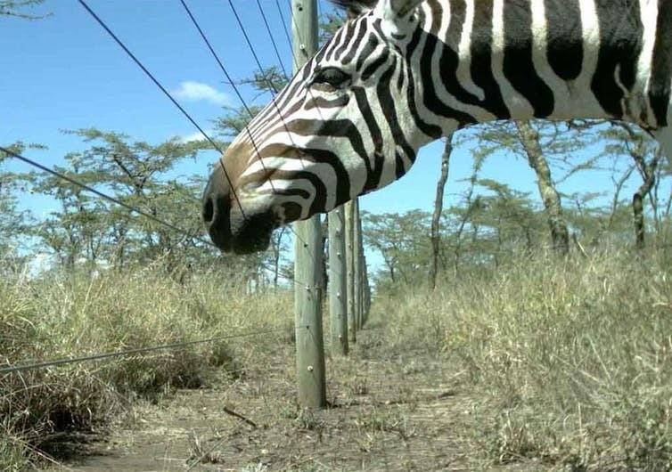 A zebra noses a fence in Kenya.