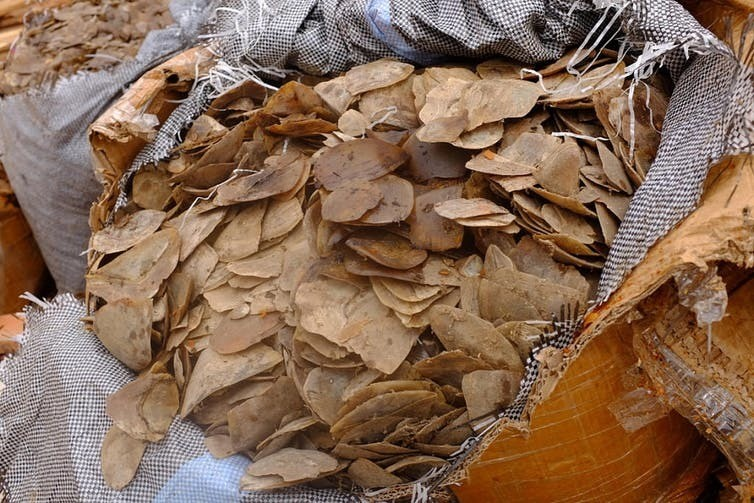 Seized pangolin scales from Cameroon.