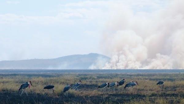 Les cigognes du Marabou affluent vers les feux du Serengeti pour manger les petits animaux pris dans les flammes.