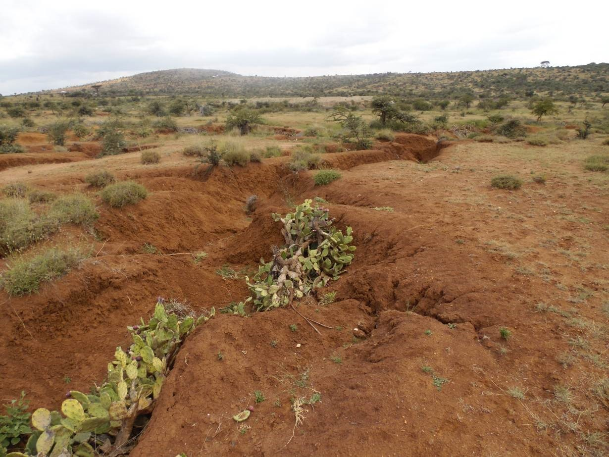 Prickly pear cactus plants grow in a gully on land in in Laikipia County, Kenya, July 31, 2019.