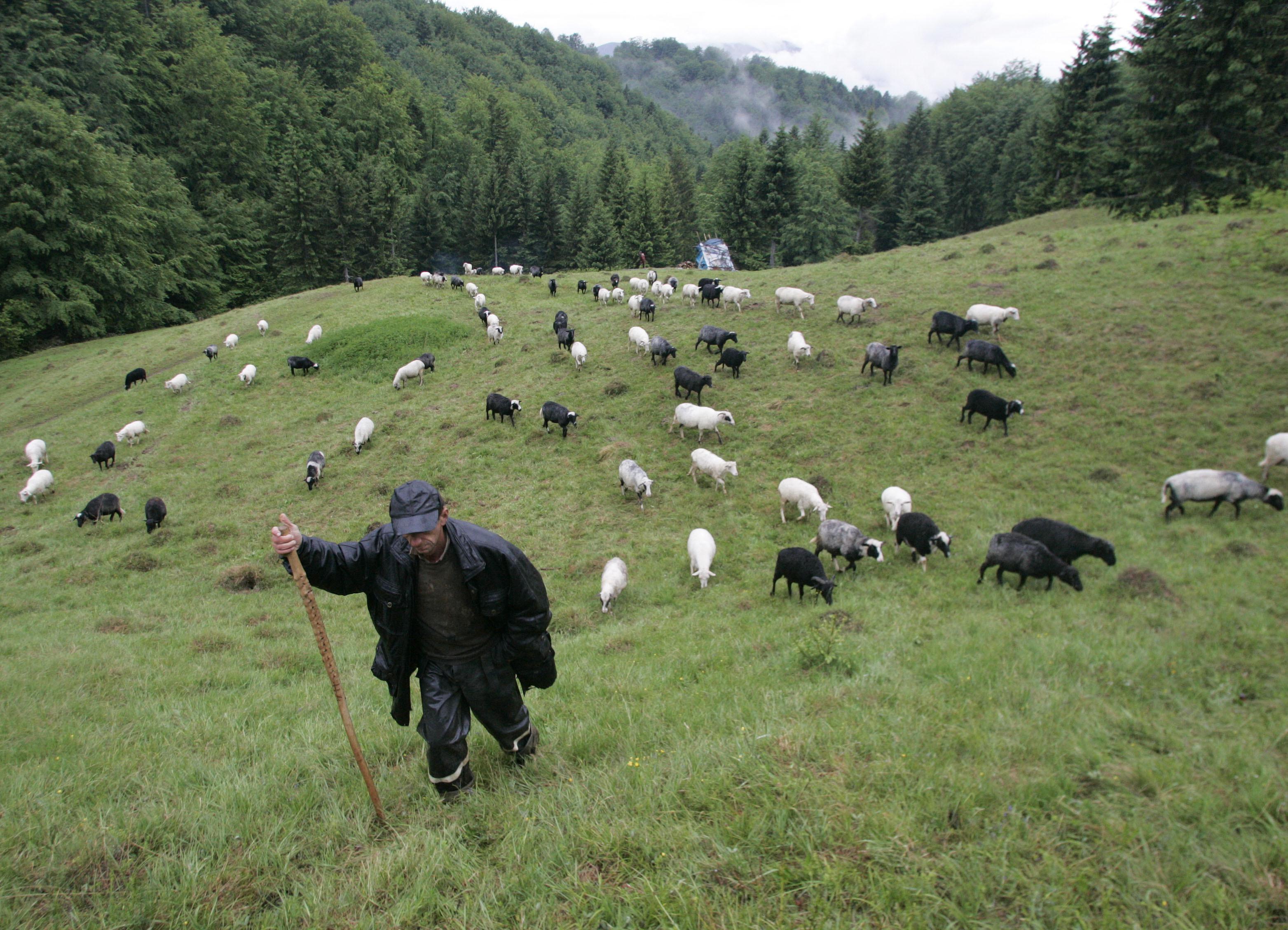 Un cioban își pășunește turma în munții Carpați