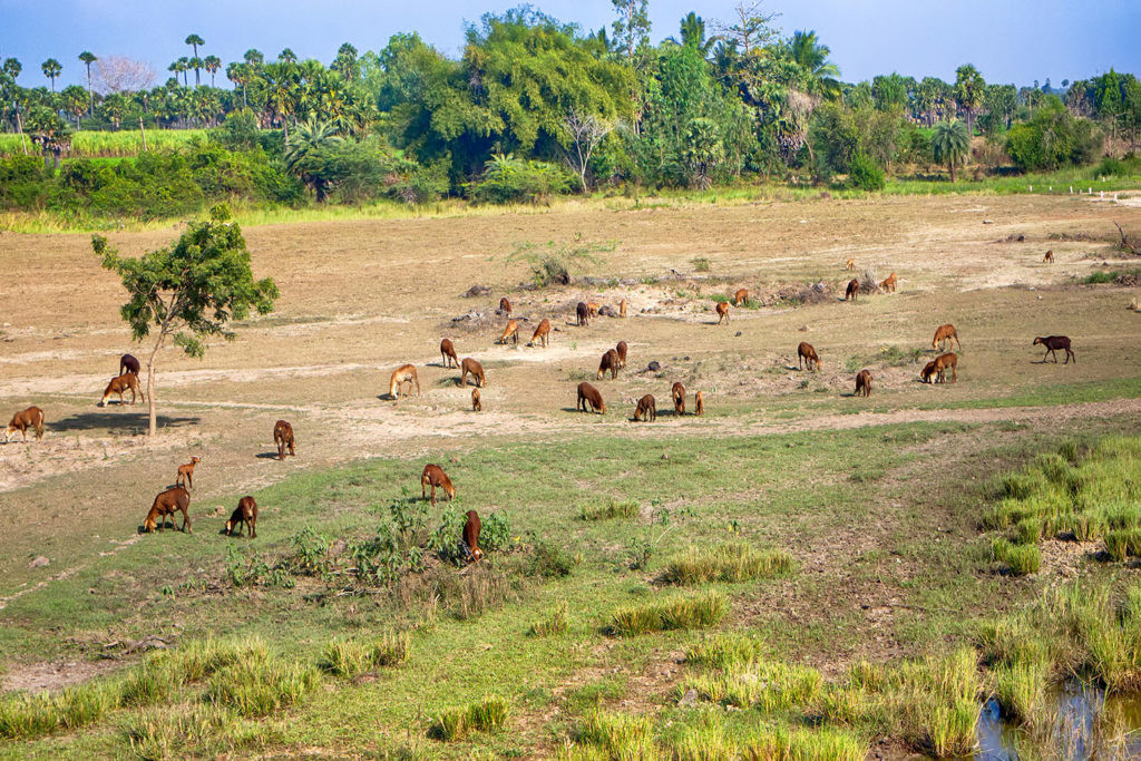 Land affected by overgrazing by cattle in India.