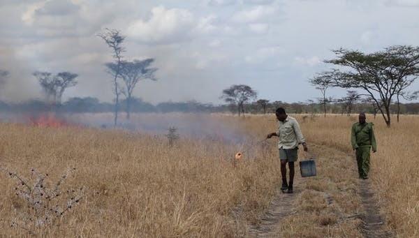 Un ranger allume un « feu de gestion » dans l'écosystème du Serengeti pour contrôler la croissance de la brousse.