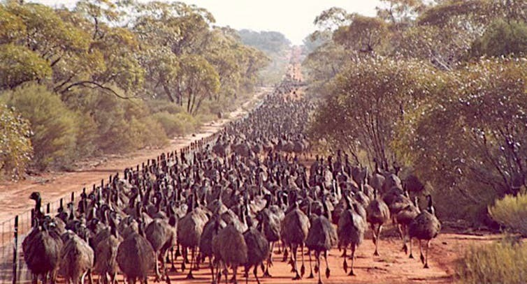 Emus attempting to cross the Rabbit-Proof Fence in Western Australia.