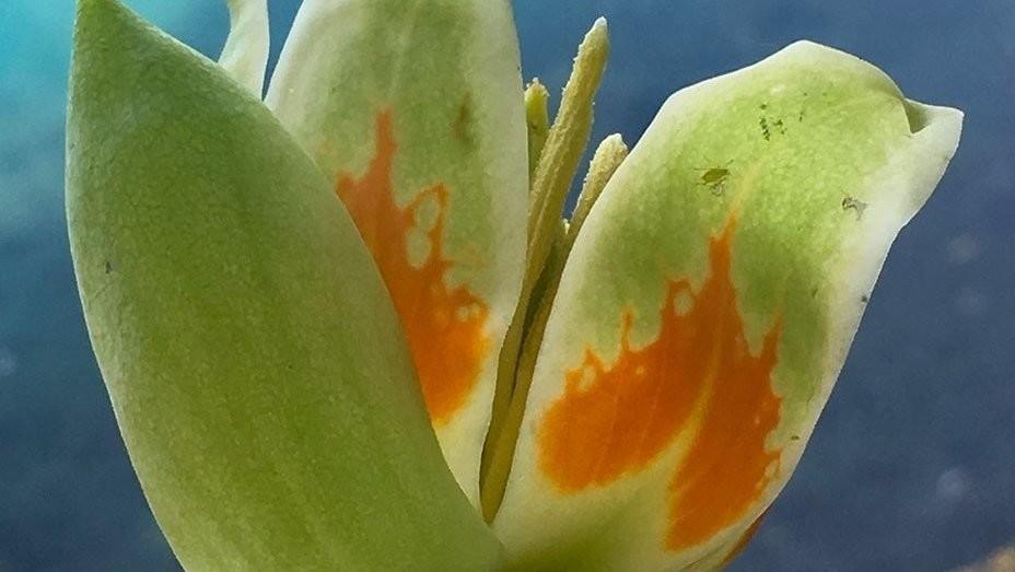 Flower of tulip-poplar, the tallest documented tree in the eastern U.S.