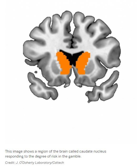 The caudate nucleus in the brain which is involved in risk taking.