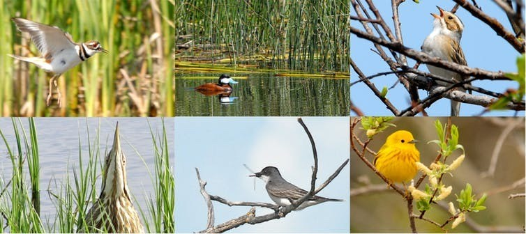 Some of the birds associated with wetlands and grasslands. Clockwise from top left: killdeer, ruddy duck, clay-coloured sparrow, yellow warbler, Eastern kingbird, American bittern.