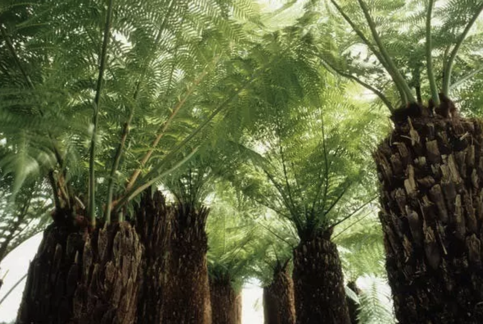 La Dicksonia antártica es una de las especies más comunes en los bosques australianos.