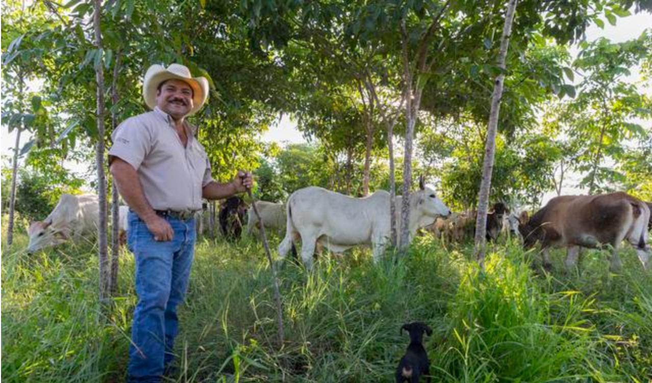 Rancher Jose Palomo se trouve dans son pâturage « silvopastoral » au Yucatán, au Mexique.
