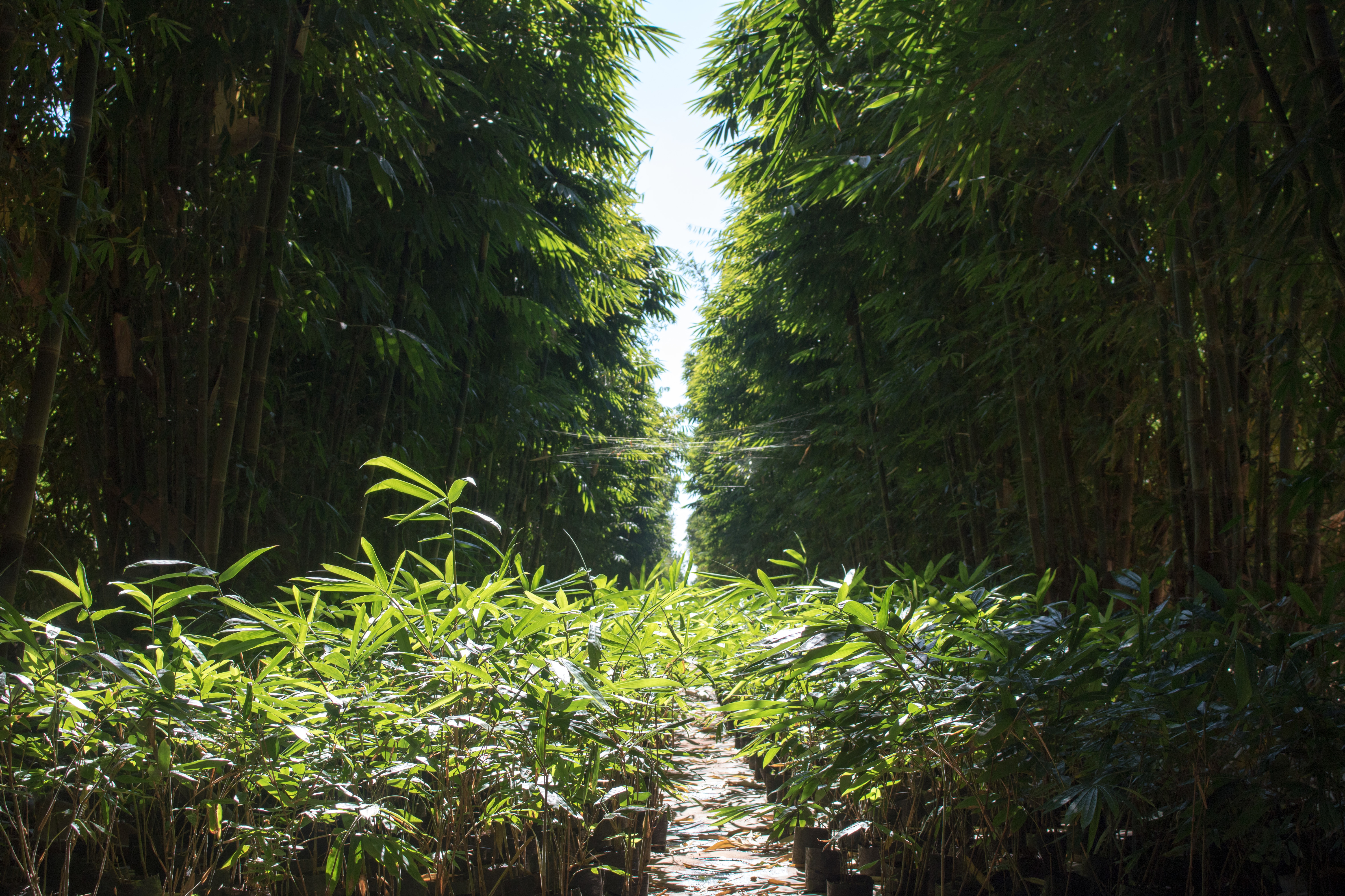 Giant bamboo and seedlings on AfriBam's farm in Malawi.