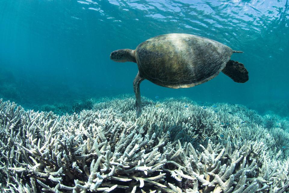 Bleached coral near Heron Island, Australia