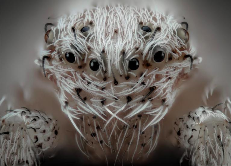 Small white hair spider