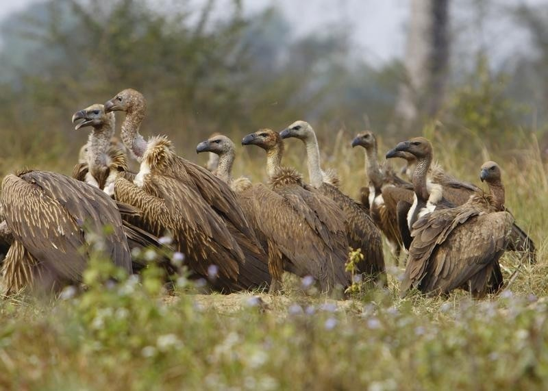 Vultures wait to feed on a cow carcass at a vulture restaurant in Nawalparasi, southwest of Kathmandu February 2, 2012. T