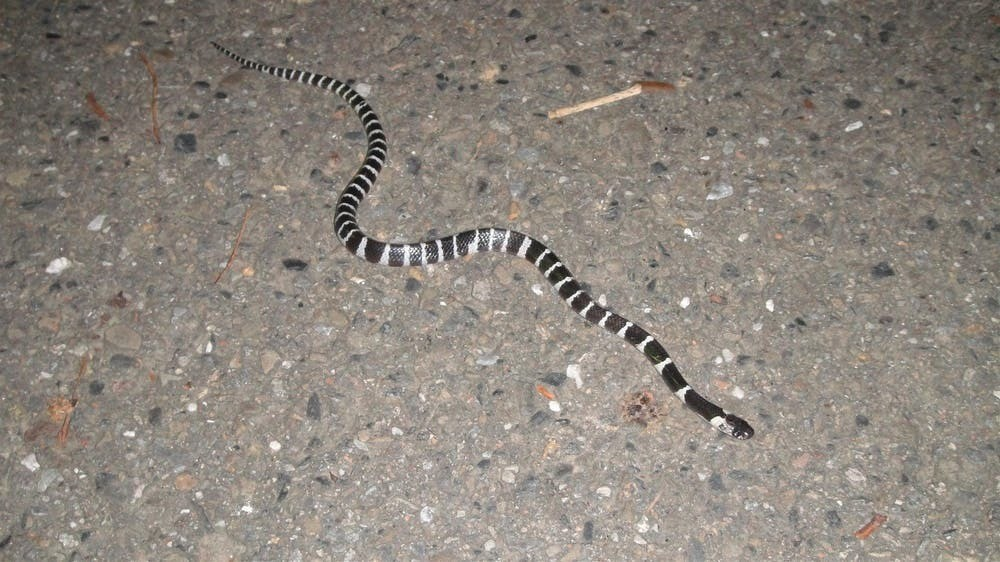 The many-banded krait (Bungarus multicinctus), also known as the Taiwanese krait or the Chinese krait, is a highly venomous species of elapid snake found in much of central and southern China and Southeast Asia.