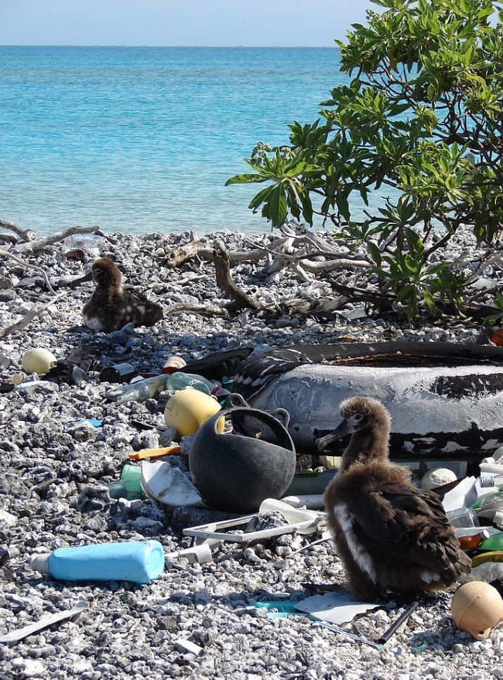 Laysan albatross chicks amid the plastic rubbish littering Midway Atoll in the North Pacific.