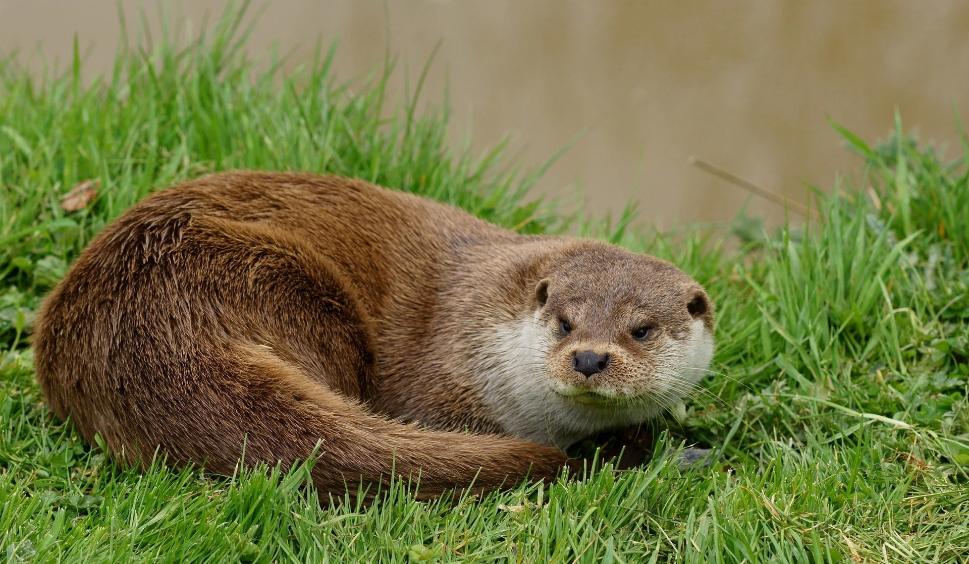Otters are thriving once more in England and Wales.
