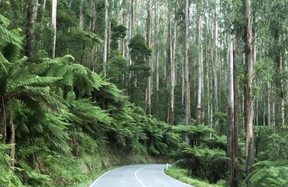 Los helechos arborescentes son una vista familiar en los viajes por carretera a través de los bosques y los senderos.