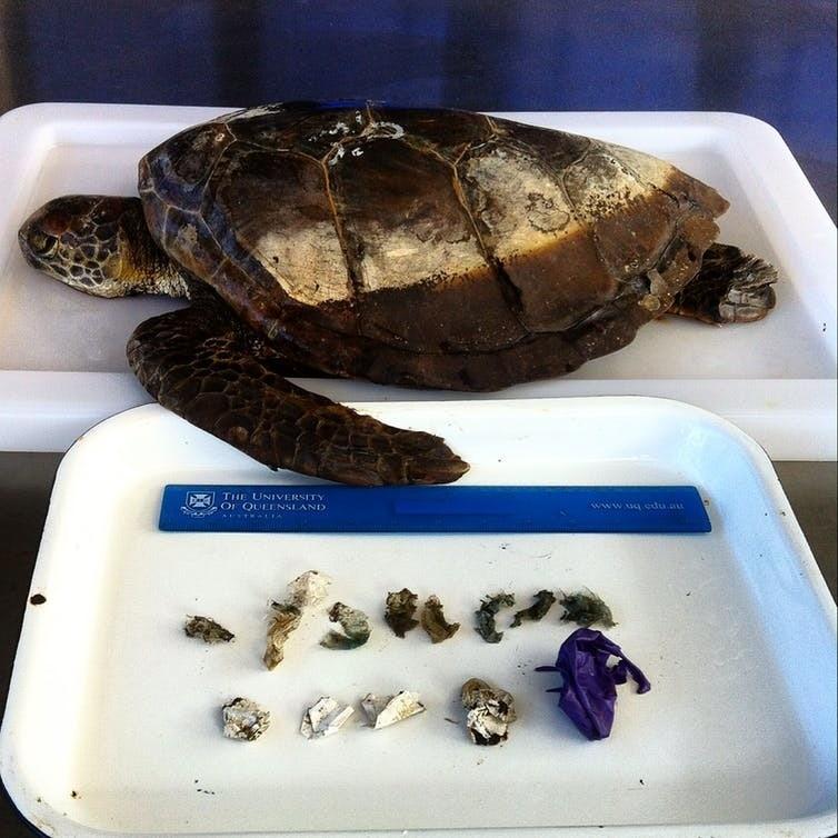 Eine grüne Meeresschildkröte, die nach dem Verzehr von 13 Stück Weichplastik und Ballons starb, die ihr Magen-Darm-System blockierten.
