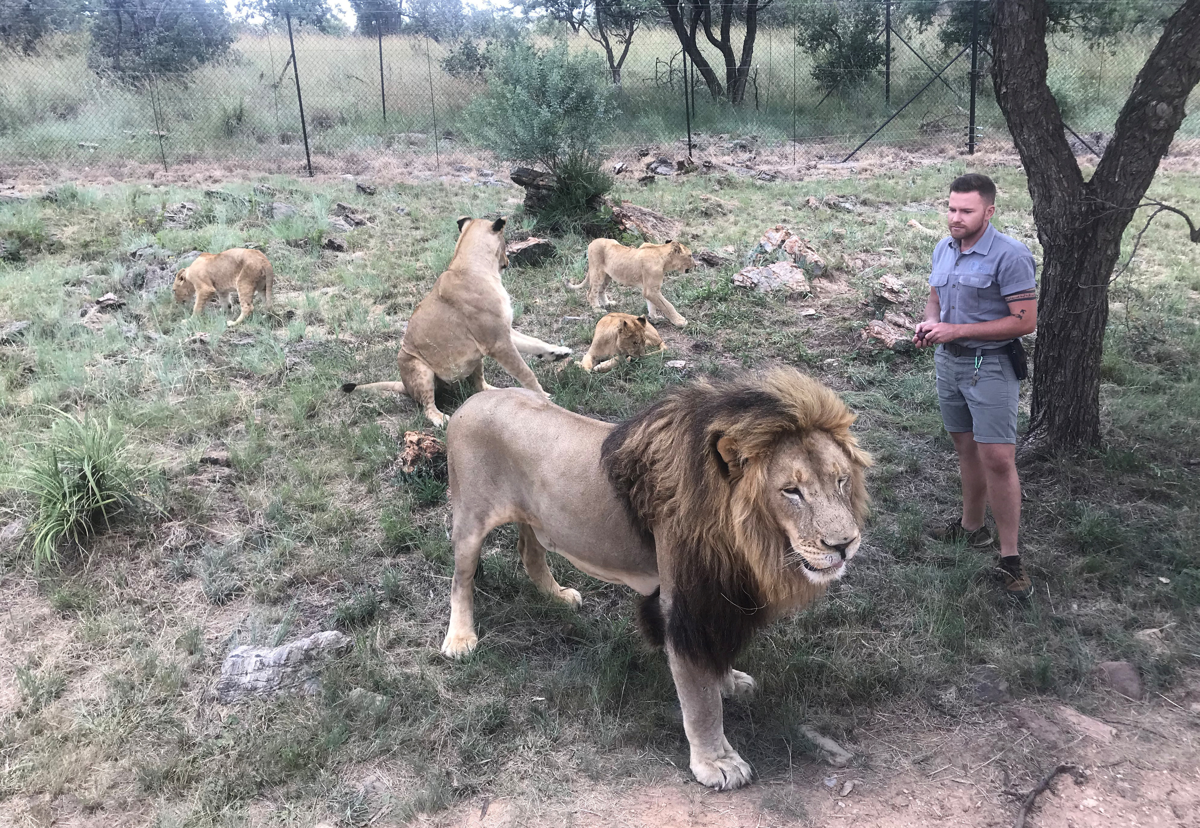 Wildlife trainer Shandor Larenty feeds and pets a pride of lions at the Lion and Safari Park near Johannesburg, South Africa, February 7, 2020.