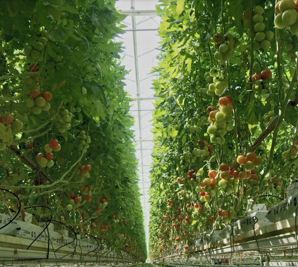 Precision techniques are used to maximize tomato yields.