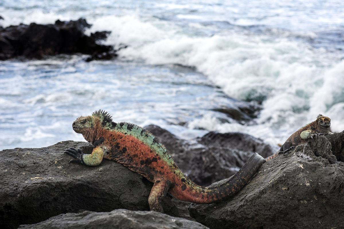 Imagen de una iguana marina Floreana sentada sobre rocas cerca del océano en la isla Floreana