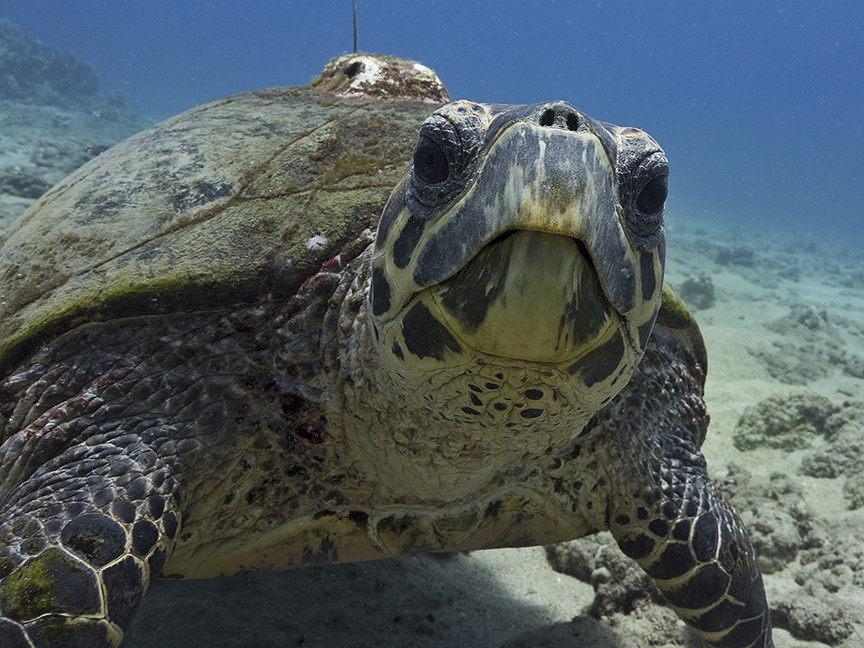The critically endangered hawksbill sea turtle, Hawaii