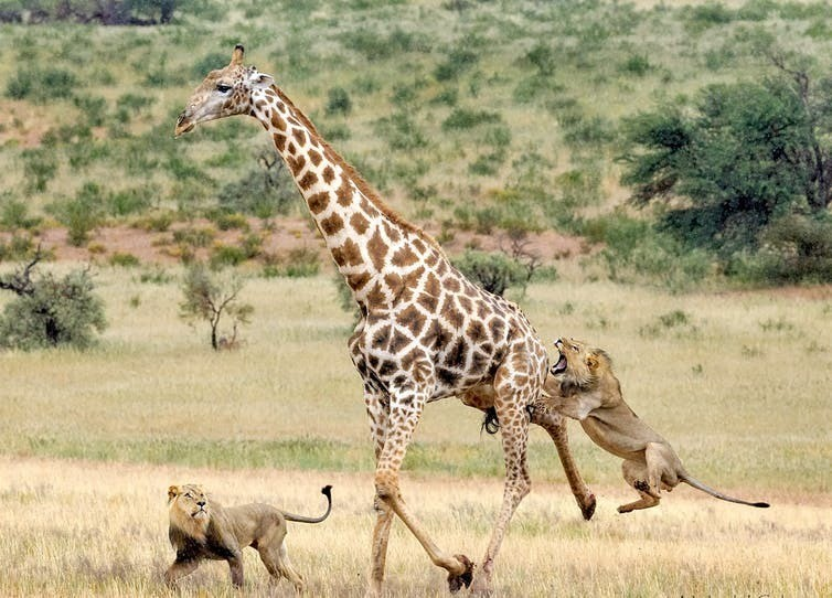 Lions attacking an Angolan Giraffe, one facet of Botswana's complex migratory ecosystems.